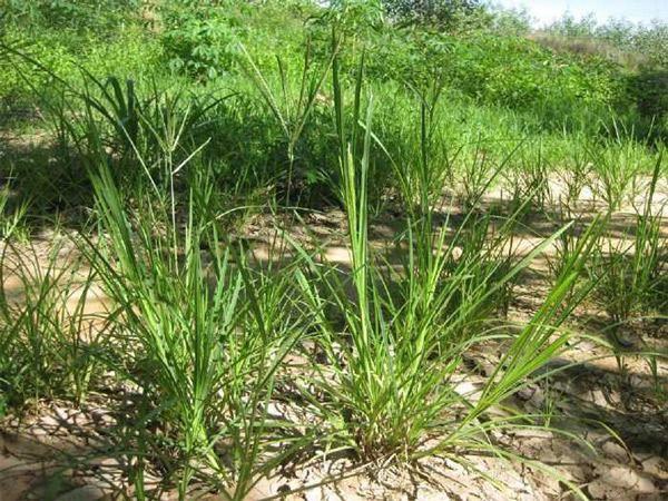 Cỏ mần trầu mọc hoang nhưng là một loại thảo dược quý cho tóc