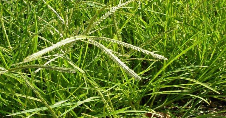 Lưu ý khi dùng cỏ mần trầu trị rụng tóc tại nhà
