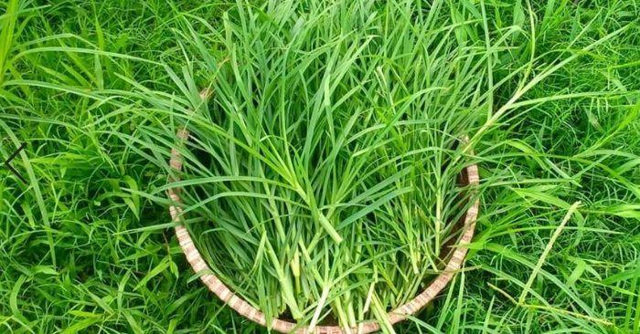 Điều trị rụng tóc bằng cỏ mần trầu tươi