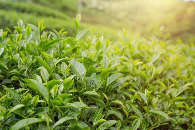 Dùng trà xanh trị rụng tóc đã được nhiều người áp dụng